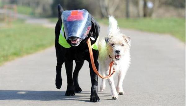 Σκύλος-οδηγός βγάζει βόλτα τυφλό σκύλο