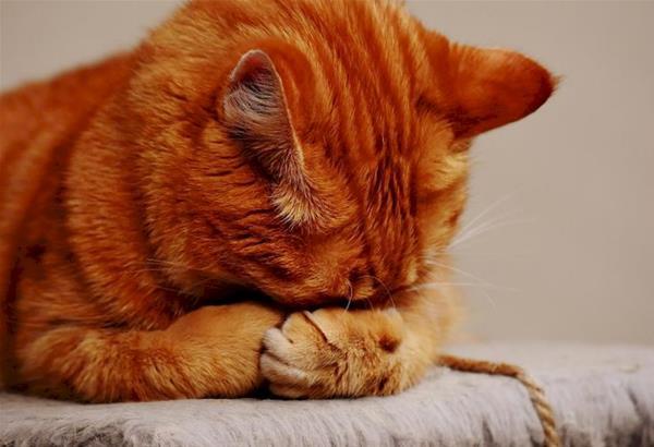 ΗΠΑ: Μελέτες του Κέντρου Ελέγχου-Πρόληψης Νοσημάτων ισχυρίζονται  ότι οι γάτες  μπορούν να κολλήσουν τον κορωνοϊό από τους ανθρώπους