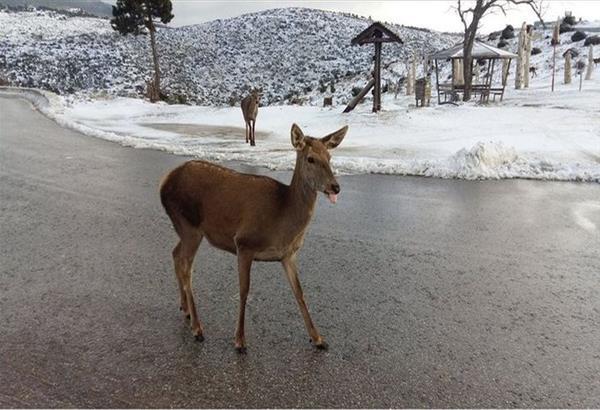 Λήμνος: Δύο ελαφάκια, κατέβηκαν βόλτα στο Δημαρχείο αναζητώντας καταφύγιο από τα χιόνια. Βίντεο.