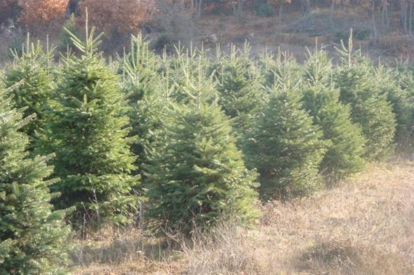 Θεσσαλονίκη: Διαλέξτε χριστουγεννιάτικο δέντρο απευθείας από τη φύση!