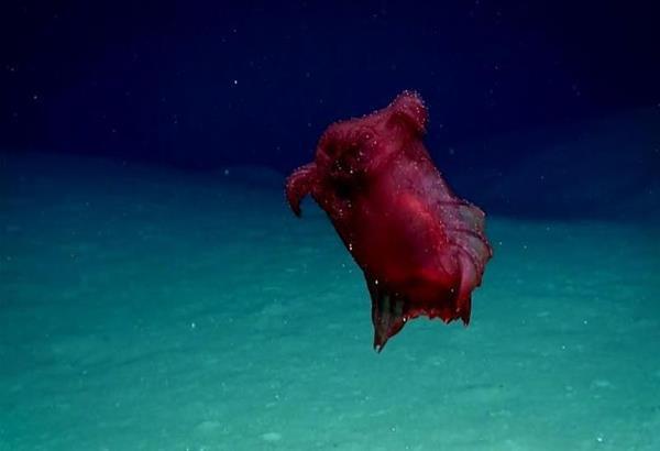 Εντυπωσιάζει το Enypniastes eximia, το ακέφαλο κοτόπουλο τέρας του νότιου ωκεανού