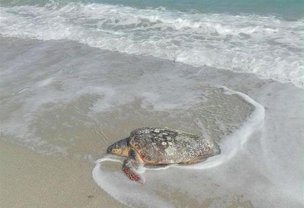 Αγία Τριάδα: Βρέθηκε νεκρή χελώνα καρέτα - καρέτα στην παραλία