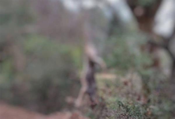 Αρκτούρος: Καταγγελία για κρεμασμένο σε δένδρο νεκρό λύκο