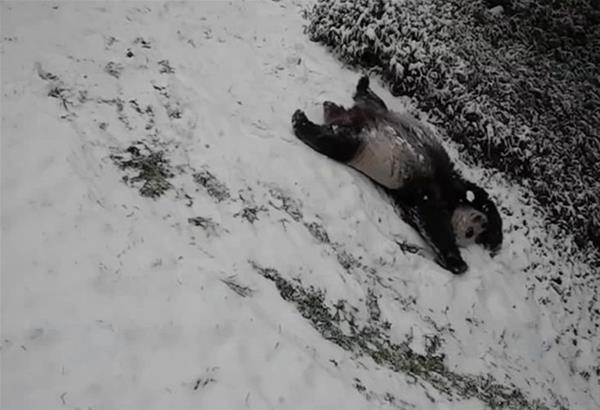 Ουάσιγκτον: Δύο τεράστια πάντα απολαμβάνουν το παιχνίδι στο χιόνι (βίντεο)