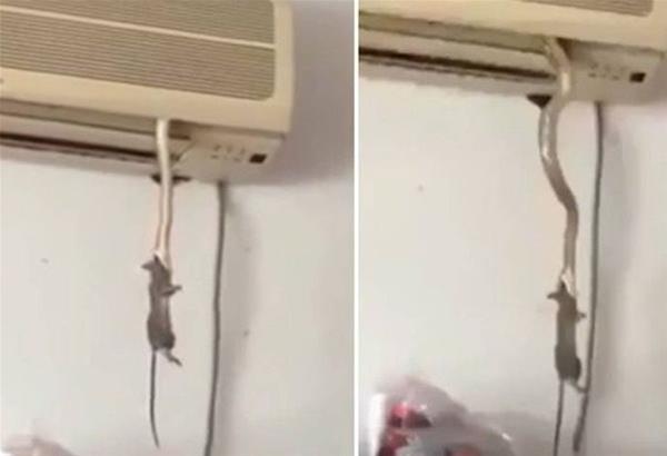 Φίδι βγήκε από κλιματιστικό και άρπαξε ποντίκι. Δείτε το σοκαριστικό βίντεο
