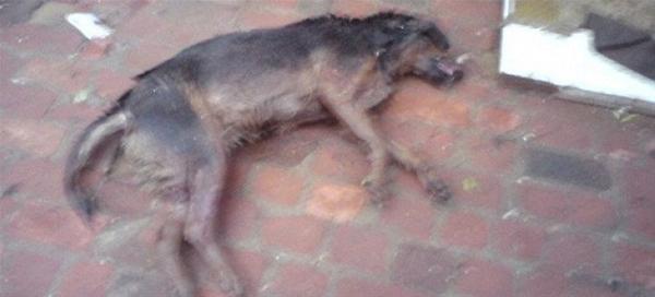 Βίντεο σοκ από το στρατόπεδο Κόδρα: Έγκλειστα σκυλιά κατασπαράσσουν σκύλο