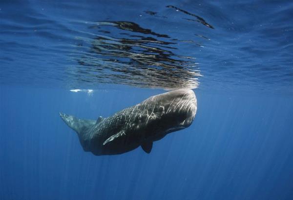 Γιατί τα κόπρανα της φάλαινας φυσητήρα κοστίζουν περισσότερο και από το ασήμι;